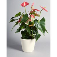 Spring Anthurium House Plant