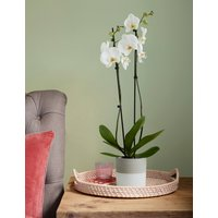 Twin-Stemmed Phalaenopsis Orchid House Plant