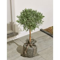 Garden Lavender Tree – New Lower Price