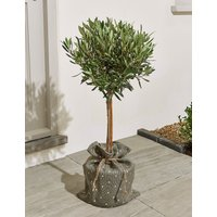 Garden Olive Tree – New Lower Price