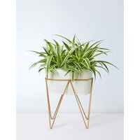 Spider Plant on Stand (Available for delivery from 25th April 2019)