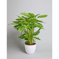 Green Calathea Plant (Available for delivery from 25th April 2019)