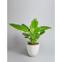 Philodendron Plant (Available for delivery from 25th April 2019)