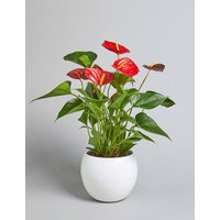 Red Anthurium Plant (Available for delivery from 25th April 2019)
