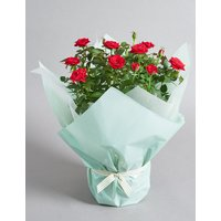 Gift Wrapped Red Rose House Plant