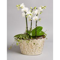 Collection Luxury Phaelenopsis Orchid Planter