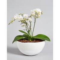 White Multifloral Jungle Orchid