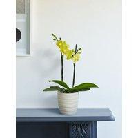 M&S Yellow Miniature Phalaenopsis Orchid Ceramic
