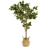 Medium Ficus Tree