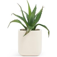 Small Aloe in Ceramic Pot