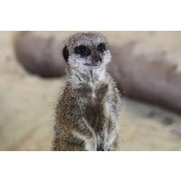 Meerkat Encounter For One At Ark Wildlife Park Picture
