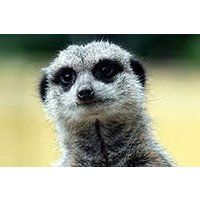 Meerkat Encounter For Two At Ark Wildlife Park Picture