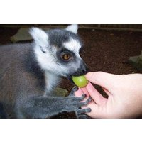 Feed The Lemurs At Paradise Wildlife Park Picture