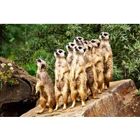 Meet The Meerkats At Paradise Wildlife Park Picture