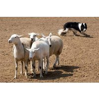 Introduction To Sheep Dog Handling For Two Picture