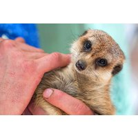 Meet The Meerkats For Two Picture