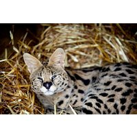 Meet The African Big Cats For Two Picture