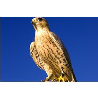 Falconry Taster Experience Picture