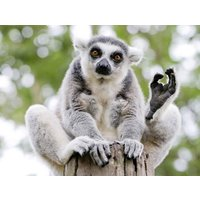Meet The Lemurs For Two Picture