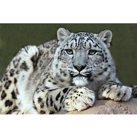 Snow Leopard Feed And Fossa Training For Two Picture