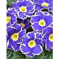 Ten Primula Sparkly Blue Plants