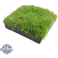 M-Tray SEDUM Green Roof Module 500 x 500 x 100mm (delivery cost per pallet of 42 units) - WALLBARN