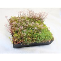 M-Tray SEDUM / Wildflower Green Roof Module 500 x 500 x 100mm (delivery cost per pallet of 42 units) - WALLBARN