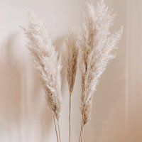 Pampas Grass Stems 90 Cm Bleached Or Natural