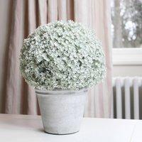 Potted Dianthus Plant