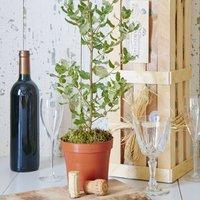 Grow Your Own Cork Oak