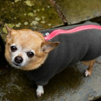 Chihuahua Polartec Water Resistant Dog Coat