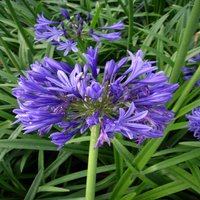 Sapphire 45th Anniversary Gift Agapanthus Ever Sapphire