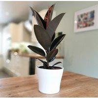 Ficus Elastica Abidjan, Rubber Plant Variant