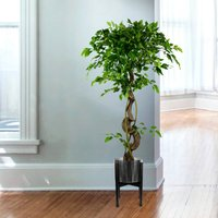 Twisted Japanese Fruticosa Style Ficus Artificial Tree