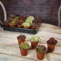 Mini Leek House Plant Mix