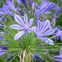 Dark Blue Agapanthus Plant Gift, Blue