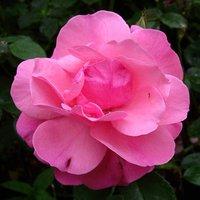Rose Special Mum Pre Order