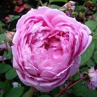 Rose Raymond Blanc