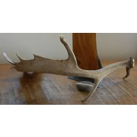 Fallow Deer Antler