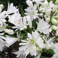 Agapanthus Double Diamond 60th Anniversary Plant Gift