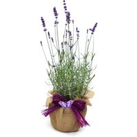 Scented English Lavender Plant Gift
