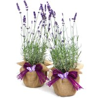 Plant Gifts Pair Of Scented English Lavenders