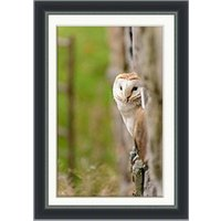 Peeping Barn Owl Framed Print