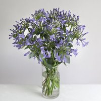Organic Agapanthus Bouquet - flowers - Arena Flowers Gifts