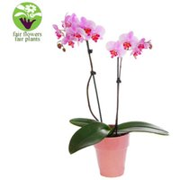 Pink Orchid - flowers - Pink Gifts