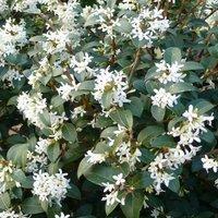 Osmanthus x Burkwoodii - Evergreen Shrub - LARGE SPECIMEN