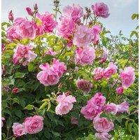 Rose Madame Gregoire Staechelin - Climbing Rose