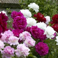 Peony Plants Mega Pack - Exotic Looking Fragrant Garden Peon