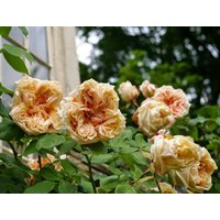 Rose Gloire de Dijon - Climbing Rose