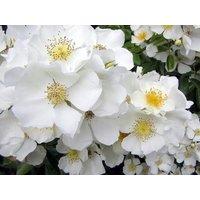 Rose Wedding Day - Climbing Rose - Rambling Wedding Day